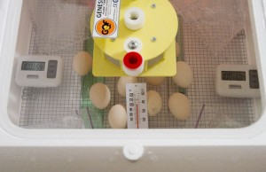 my first batch of eggs in the incubator