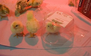chicks in mozzarella container
